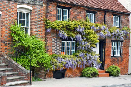 Where To Plant Wisteria
