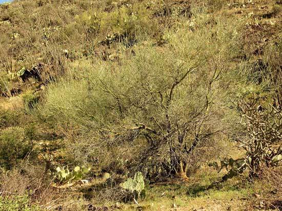 Blue Palo Verde Tree Arizona