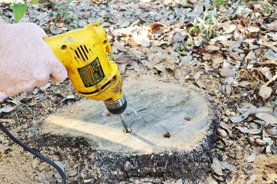 Drill holes tree stump