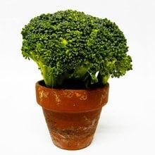 How To Grow Broccoli Indoors