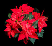 How to Water A Poinsettia
