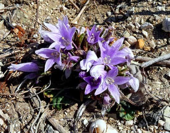 Mandragora Officinarum Mandrake