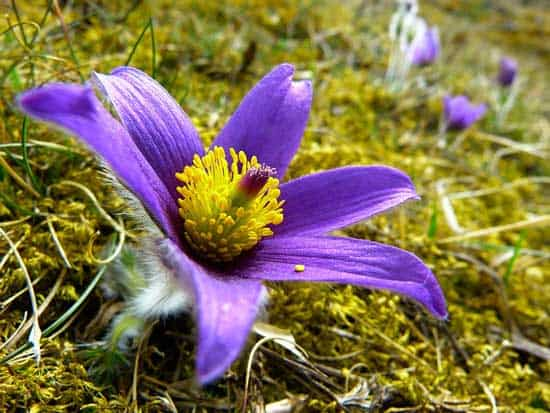Pasque Flower Pulsatilla Vulgaris
