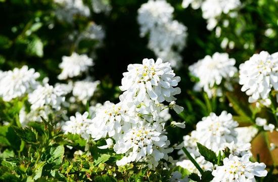 Persian Candytuft Aethionema Grandiflorum
