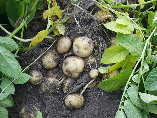 Potatoes Field Harvest