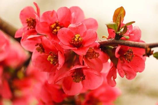 Quince Flower Chaenomeles Speciosa