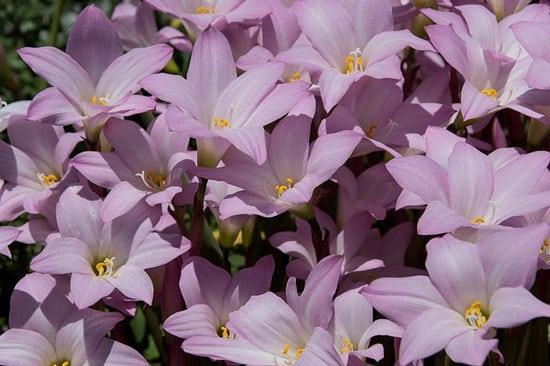 Rain Lily Zephyranthes