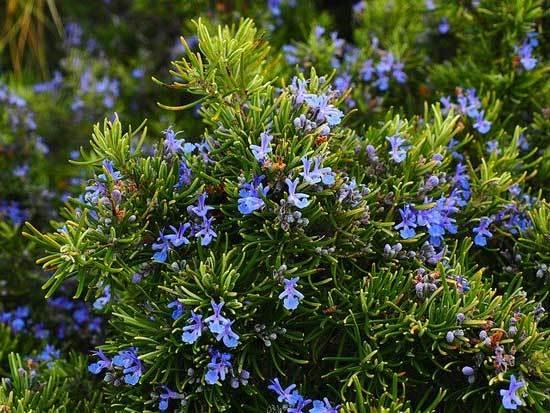 Rosemary Salvia Rosmarinus