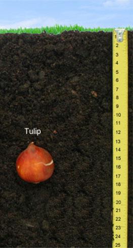 Tulip Bulb Deapth