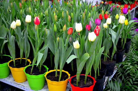 What to Do With Potted Tulips After They Bloom