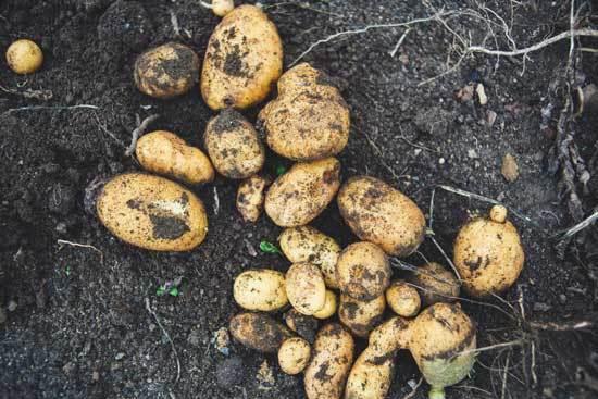 Best Fertilizers for Potatoes