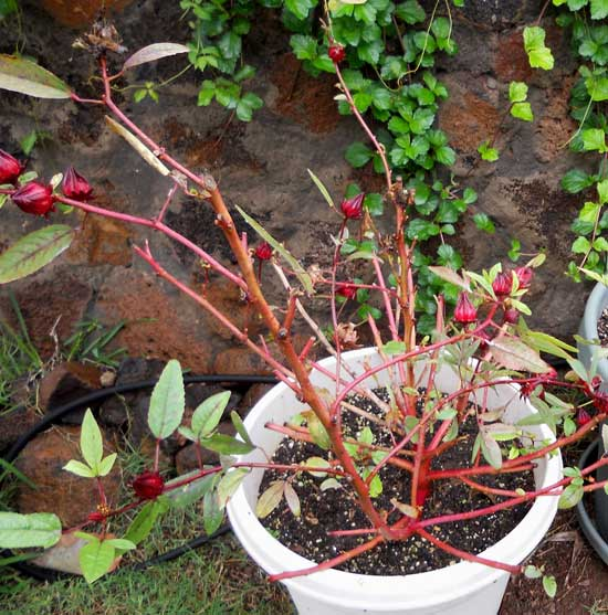 Grow Jamaican Sorrel in Container