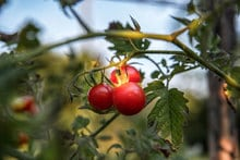 How to Grow Tomatoes in Arizona