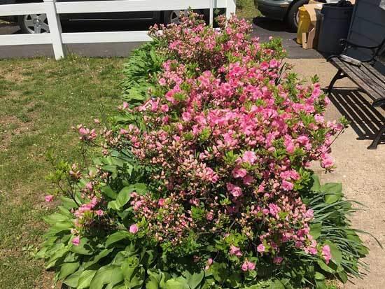 Rosebud Azalea Sun Loving Plant