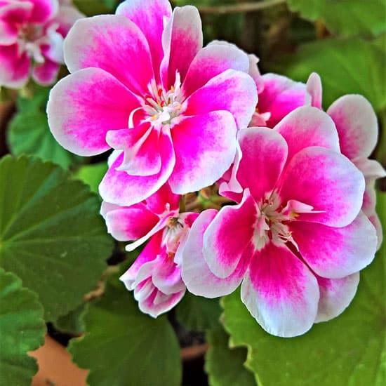 Scented Geranium Pelargonium Graveolens
