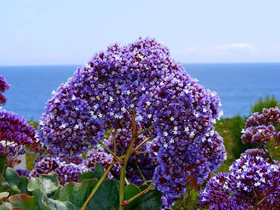 Sea Lavender Limonium