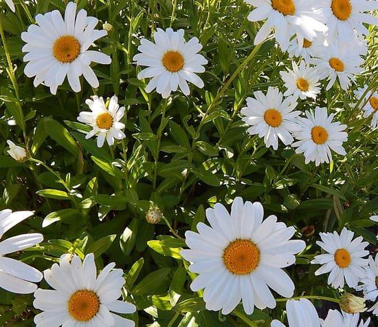 Shasta Daisy Leucanthemum x Superbum