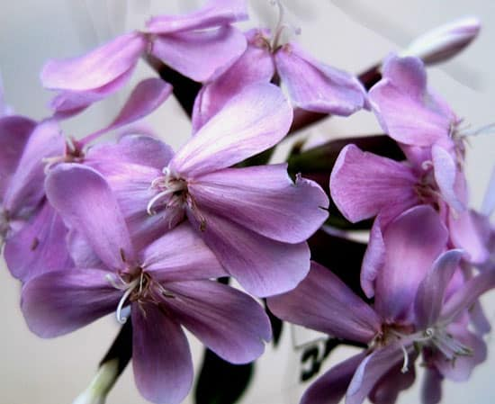 Soapwort Saponaria