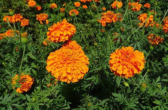 Tagetes Erecta Mexican Marigold