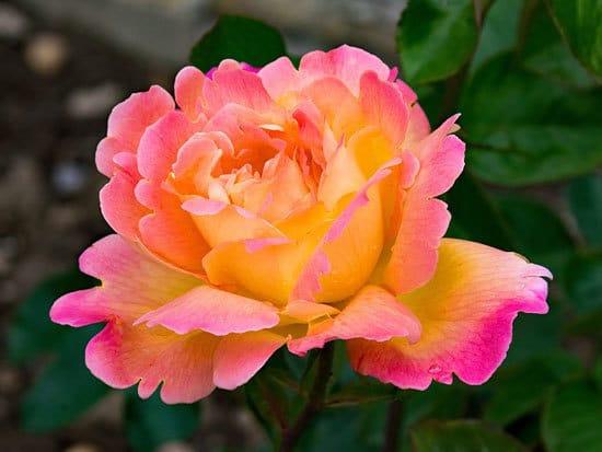 Tea Rose Hybrid Tea Rose Rosa Gloire de Dijon