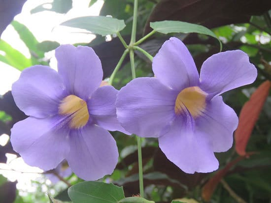Thunbergia Clockvine