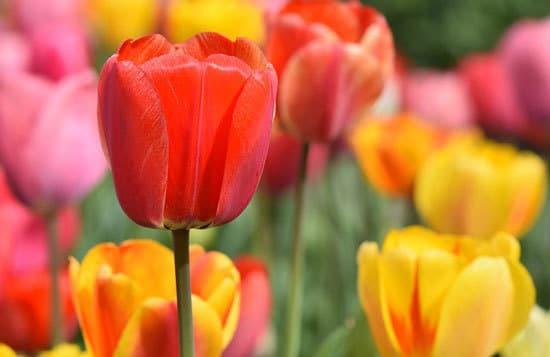 Tulip Tulipa 1