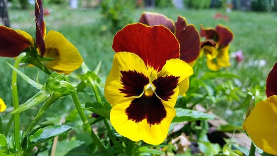 Viola Tri Colour Heartsease Johnny Jump Up Wild Pansy