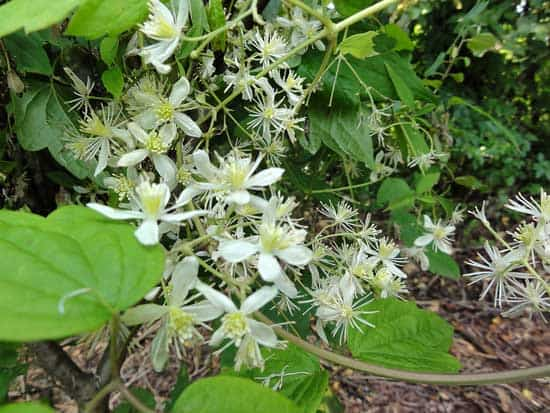 Virgin Bower Clematis Virginiana