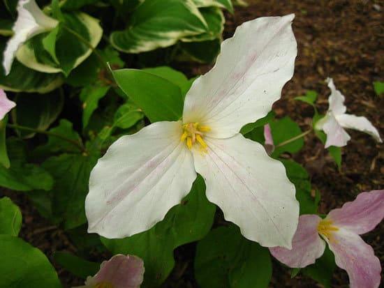 Wake Robin Birthroot Trillium