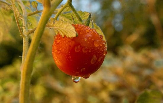 Watering Tomatoes Plant