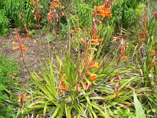 Watsonia Bugle Lily