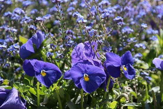 Wishbone Flower Torenia Fournieri
