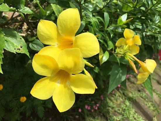 Yellow Bell Golden Trumpet Allamanda Cathartica 1