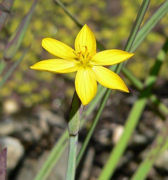 Yellow Eyed Grass Sisyrinchium Californicum 1