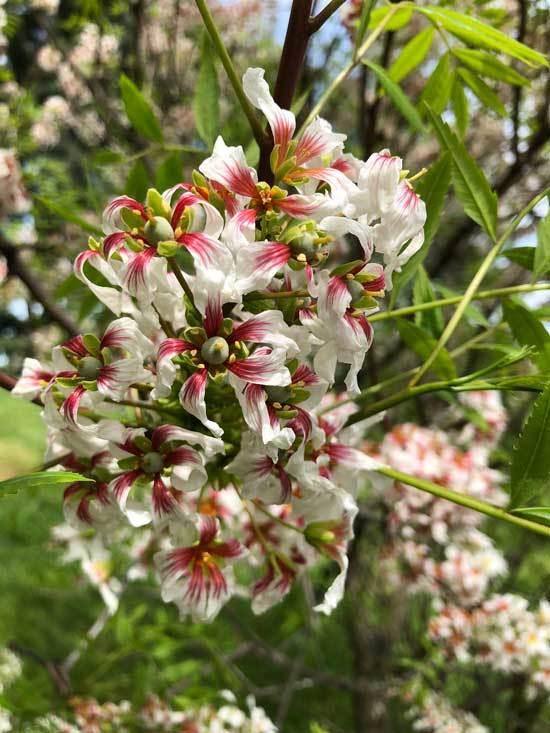 Yellowhorn Xanthoceras Sorbifolium
