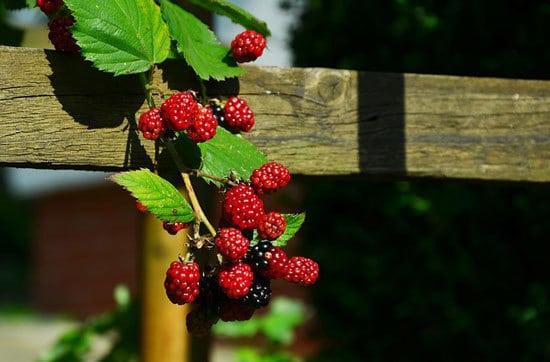 12 of the Climbing Fruit Plants Blackberries