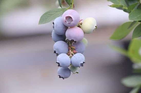 12 of the Climbing Fruit Plants Blueberries