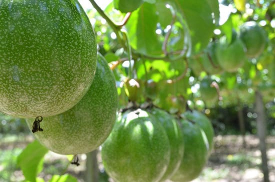12 of the Climbing Fruit Plants Passion fruit