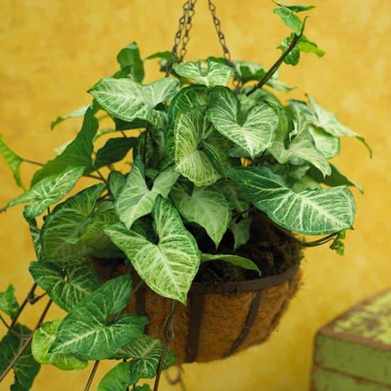 Amazing Indoor Hanging Plants Arrowhead Vine Syngonium Podophyllum