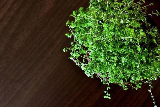Amazing Indoor Hanging Plants Babys Tears Pilea Depressa