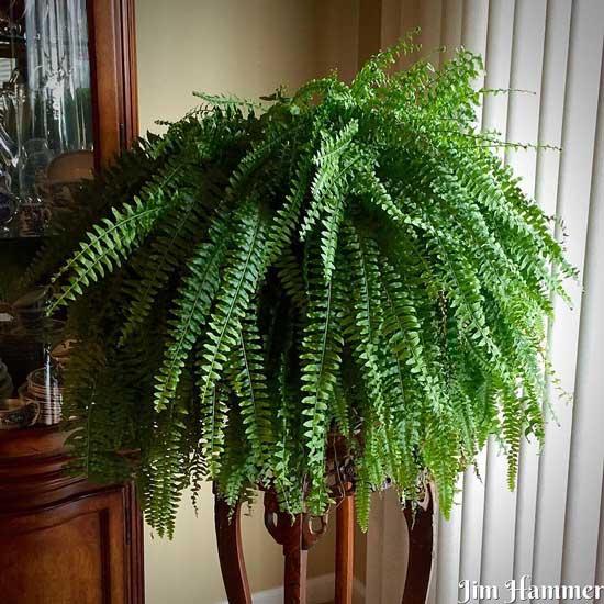 Amazing Indoor Hanging Plants Boston Fern Nephrolepis Exaltata