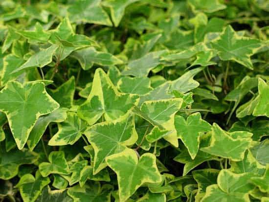 Amazing Indoor Hanging Plants English Ivy Hedera Helix