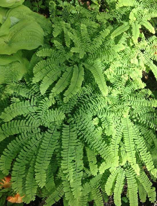Amazing Indoor Hanging Plants Maidenhair Fern Adiantum