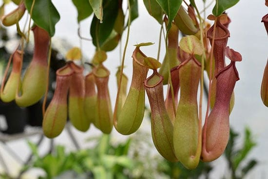 Amazing Indoor Hanging Plants Pitcher Plant Nepenthes