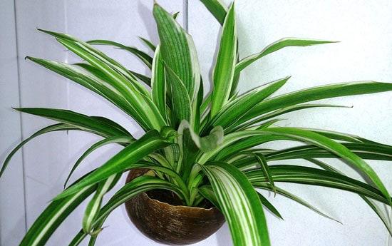 Amazing Indoor Hanging Plants Spider Plant Chlorophytum Comosum