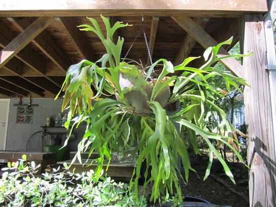 Amazing Indoor Hanging Plants Staghorn Fern Platycerium