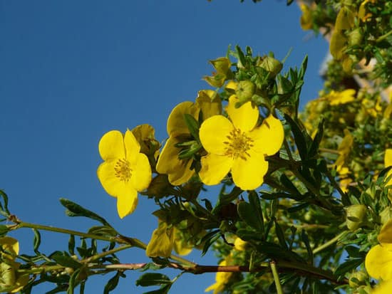 Bright and Beautiful Yellow Flowering Shrubs Bush Cinquefoil