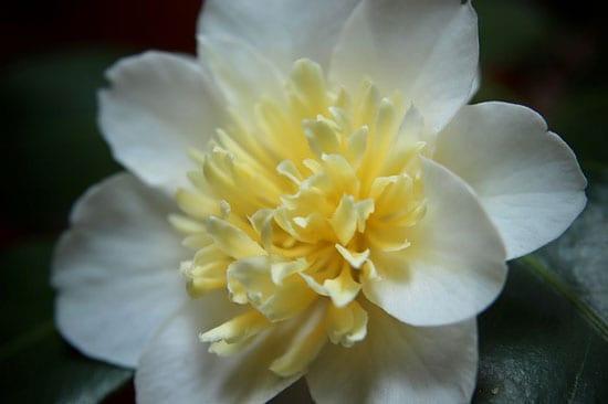 Bright and Beautiful Yellow Flowering Shrubs Camellia Nitidissima