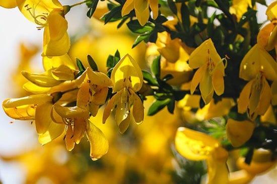 Bright and Beautiful Yellow Flowering Shrubs Genista Lydian Broom