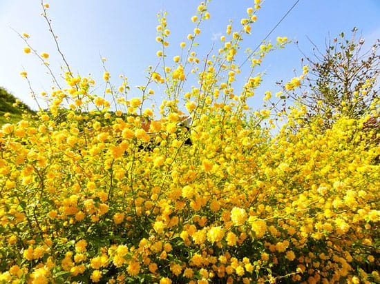 Bright and Beautiful Yellow Flowering Shrubs Japanese Rose Kerria Japonica